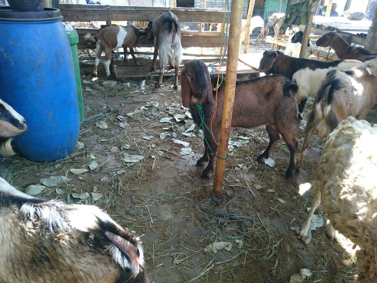 Beli kambing murah