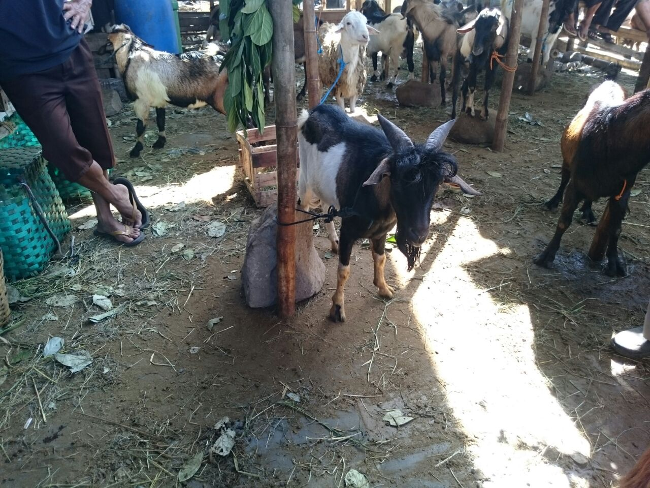 Bisnis kambing kurban