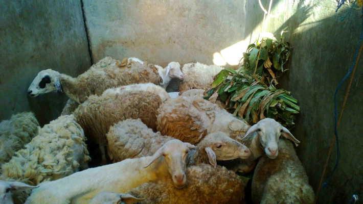 Jual domba dan kambing kurban 2018 di Solo dan sekitarnya harga murah