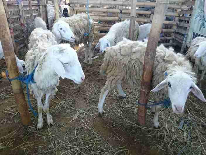 Jual domba qurban di Solo harga murah mulai Rp 1.500.000,- per ekor