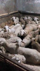 stok kambing gembel di temapt